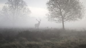 Symbolique du cerf, « roi de la forêt »