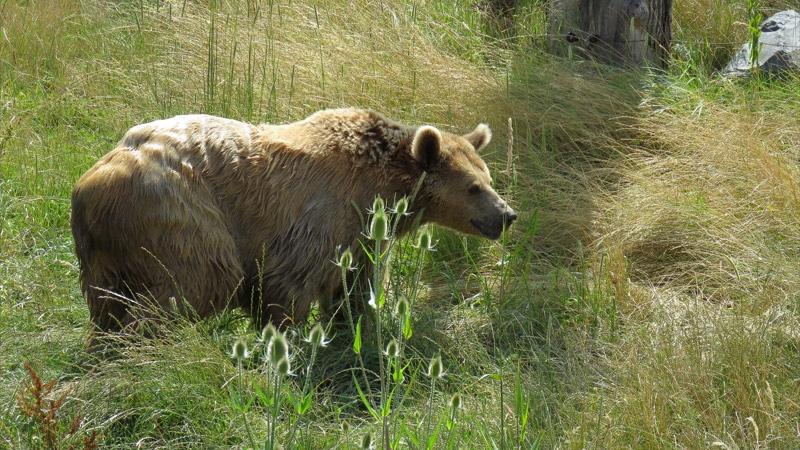 L'ours, notre roi des animaux