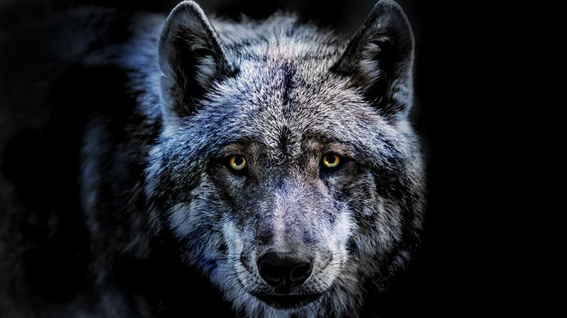 Le loup, une histoire culturelle, de Michel Pastoureau